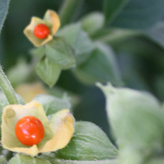 ashwagandha-fruit_medium